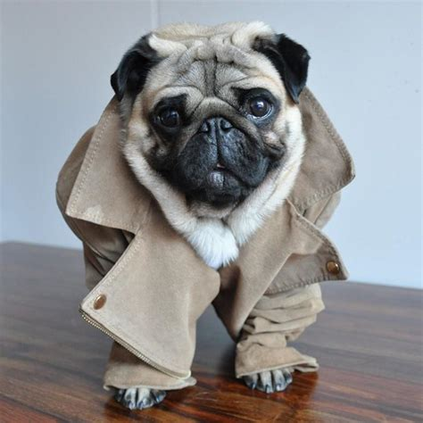 pug style nutello the fashion forward pug has style nutello fashion forward pug