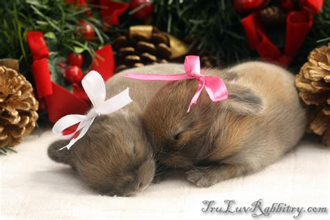 images of christmas rabbits christmas bunny tru luv rabbitry quality holland lops
