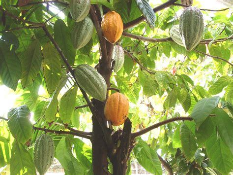 cocoa tree fruit december 13 santa lucia day cocoa day day