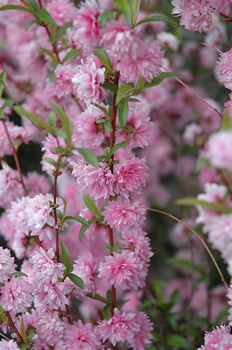 flowering shrubs ontario pink flowering almond prunus glandulosa rosea