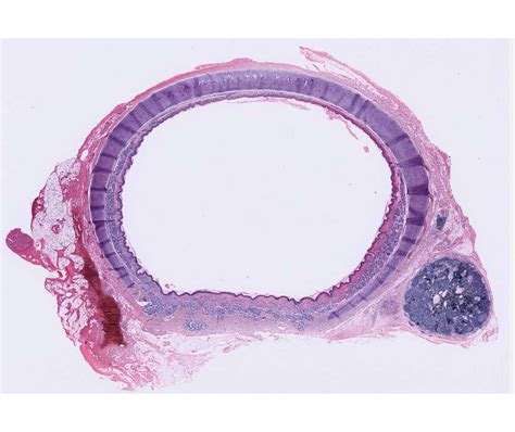 cross section of trachea histology laboratory manual