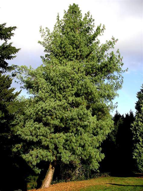 file bhutan pine tree jpg