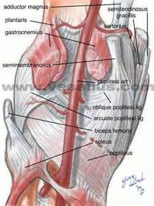 Anatomy back of knee vesalius clinical folios knee anatomy posterior