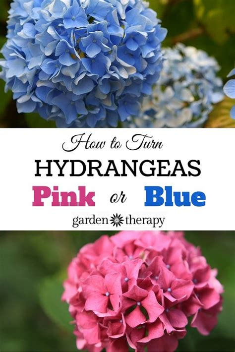 how to make your change color pretty pink or brilliant blue how to make your hydrangea