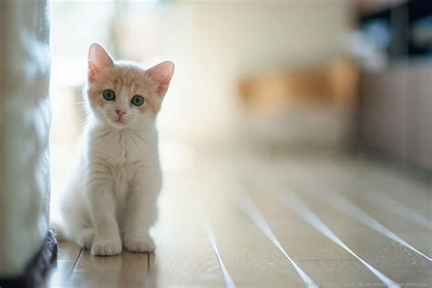 wallpaper of cat white cat wallpapers wallpaper cave