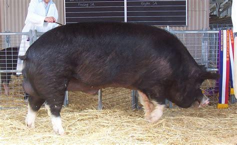 Animal Farm Pig napoleon a pig in animal farm