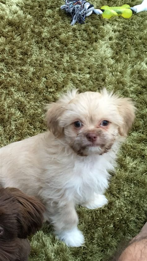chiwawa x shih tzu chihuahua information and facts breeds breeds picture