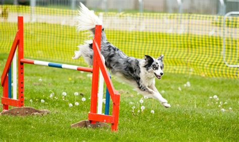 how to a for agility competition paws in the park agility competition kennel club agility agility