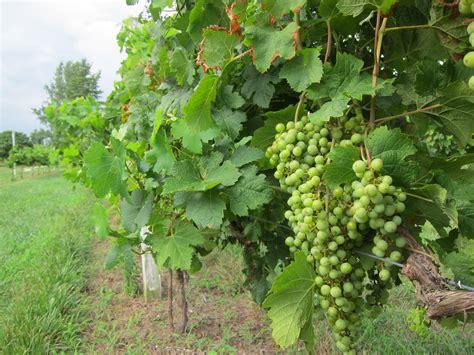 guarding grape vines building guard rails barefootin