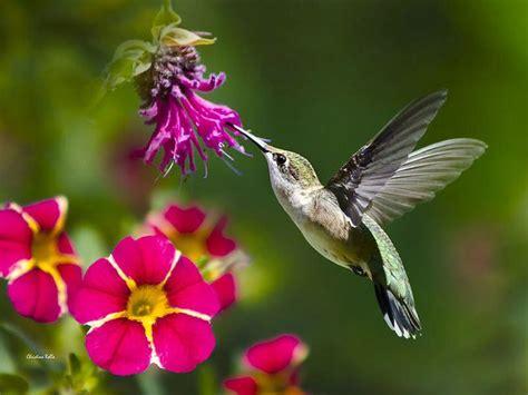Humming Bird 17 best ideas about hummingbird photos on
