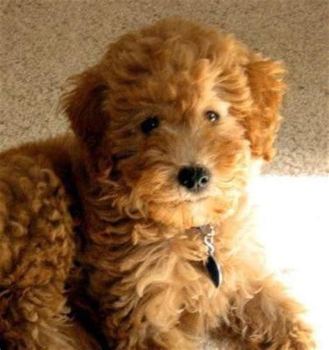 wheaten terrier mix puppies wheaten terrier poodle mix