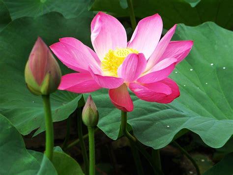 significati dei fiori significato loto significato dei fiori conoscere il