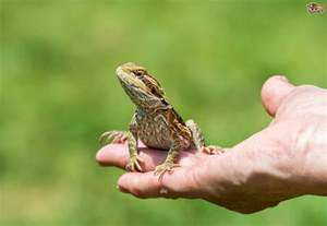 how to pick up and handle your pet lizard and the best