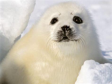 imagenes de focas blancas im 193 genes y fotos de animales foca