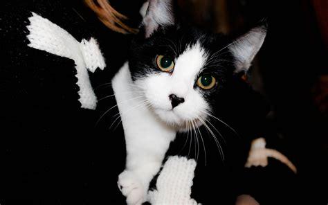 wallpaper white cat hd black white cat hd desktop wallpapers 4k hd