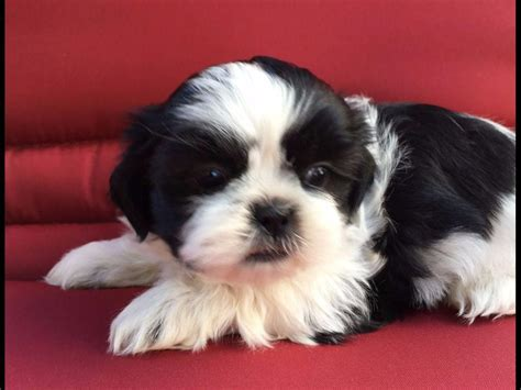 grey shih tzu puppies for sale laurie gray shih tzu puppies for sale
