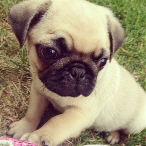 cutest pugs in the world pug puppies are the cutest the world s cutest creature