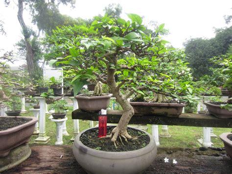 Bakalan Bonsai Murah jual tanaman hias bonsai sweimi anting putri murah 09 di