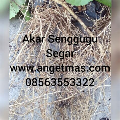 Harga Bibit Ginseng Jawa akar senggugu untuk gurah suara anget anget