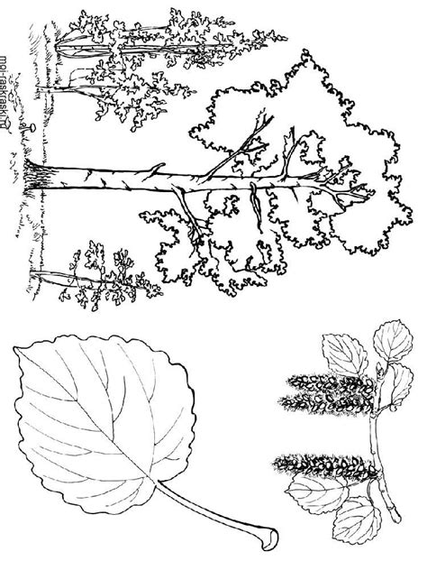 beech tree coloring page 81 aspen leaf coloring page leaf coloring pages