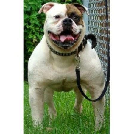 american bulldog puppies for sale in ga solid dogs american bulldog breeder in decatur listing id 16094