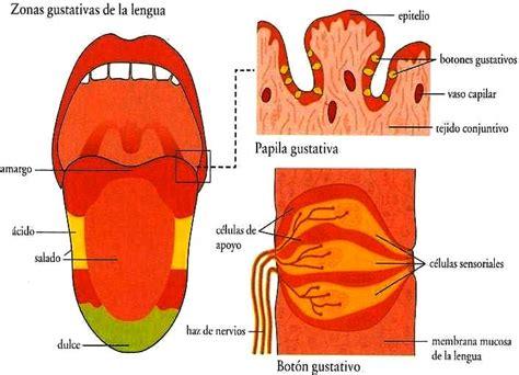 la lengua de los dibujos fotos acrostico y mas dibujos de la lengua del ser humano