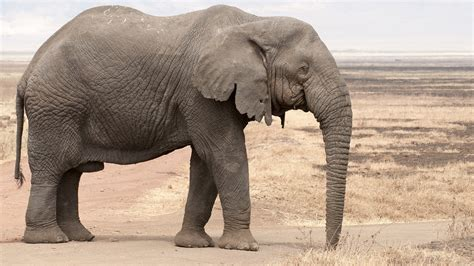 elephant wallpaper for walls nice hd background of elephant wild hd wallpapers