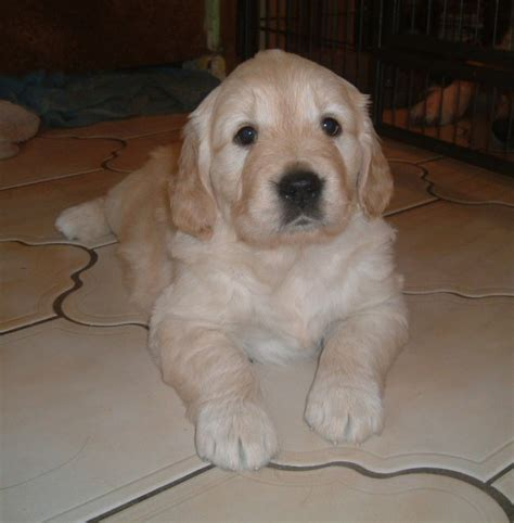 golden retriever puppies for sale in gloucestershire golden retriever puppies stroud gloucestershire pets4homes