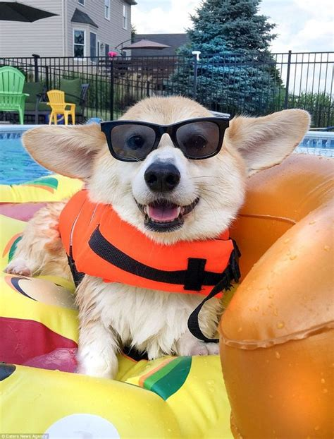 corgi working out for summer smiling corgi with almost 100 000 followers scores work as