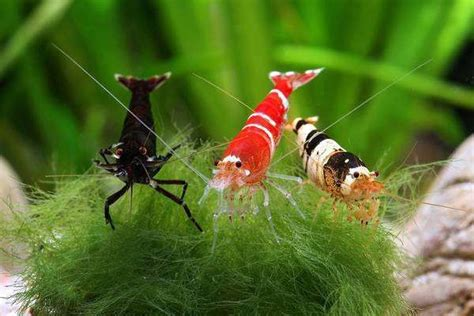 aquascape richmond 17 best ideas about freshwater aquarium shrimp on