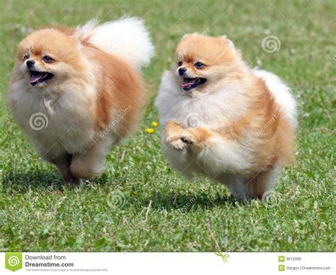 perros pomeranian dos perros pomeranian que se ejecutan fotos de archivo libres de regal 237 as imagen