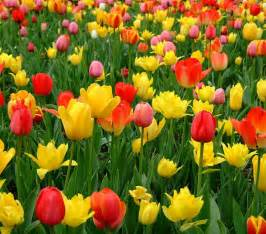Garden Flowering Plants Tulip Seeds Potted Flowering Plants Indoor Potted Plants Tulip 100pcs Seeds In Bonsai From