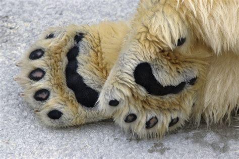 imagenes de la familia de osos cachorros de osos polares salen de su hibernaci 243 n vista