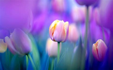 Wall Paper Wall Sticker Photo Wall Tulips 8 900 481 tulip hd wallpapers backgrounds wallpaper abyss