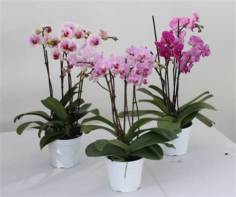 Orchidee Come Curarle In Appartamento by Piante Orchidee Mini Orchidee Orchidee Come Coltivare Le