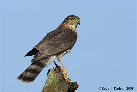 sharp shinned hawk sharp shinned hawk juv nj oct jpg