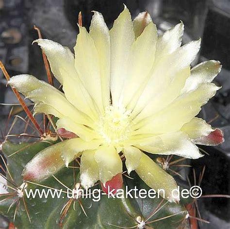 verschiedene arten hã usern hamatocactus hamatacanthus uhlig kakteen 220 ber 5000