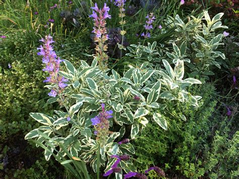 garden flowers and plants variegated sage you can grow that pegplant