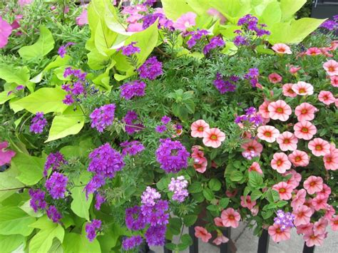 petunias verbena plants in containers pinterest