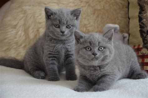 blue kittens for sale tweedehands te koop schattig blauw brits korthaar kittens