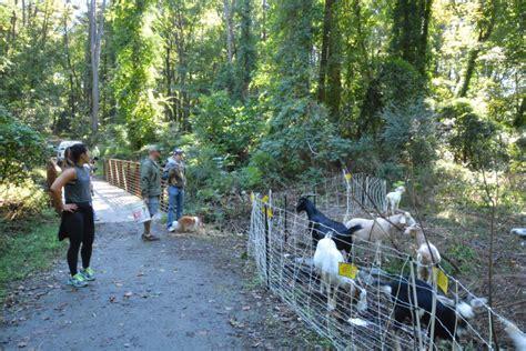get your goat rentals get your goat rentals goats eat their way through atlanta