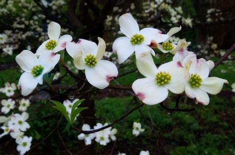 state flower of virginia virginia dogwood state tree and flower after all i don