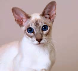 top 10 basic house cat breeds