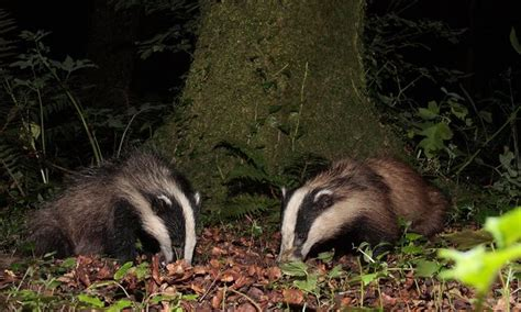 badger cull petition poll should the badger cull in the uk be extended