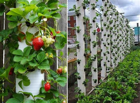 10 Brilliant Pvc Projects For Your Homestead Pvc Strawberry Planter