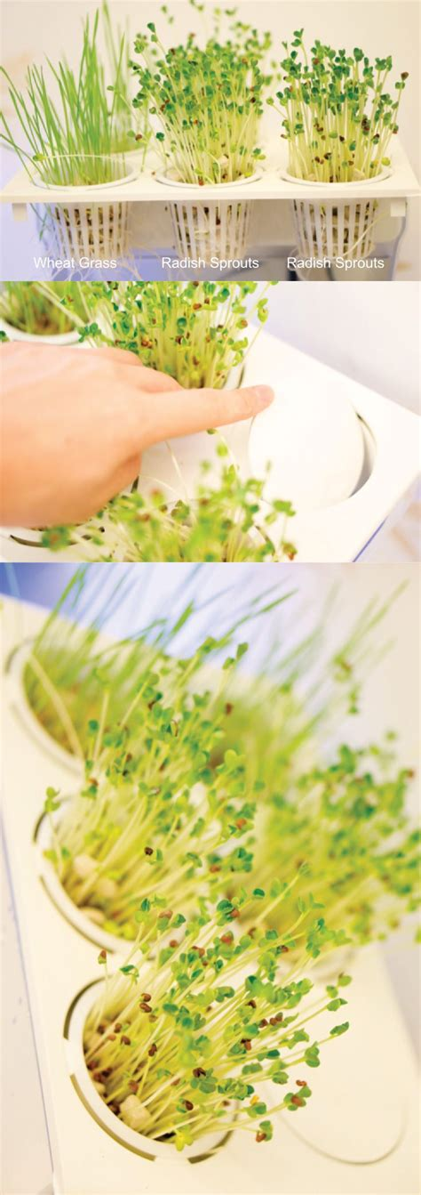 aquaponics      radish sprouts  wheat
