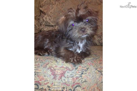 how much are yorkie poos worth shorkies for sale dallas shorkie puppy for sale near dallas fort worth