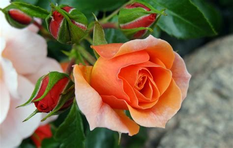 beautiful orange beautiful orange rose wallpaper www imgkid com the