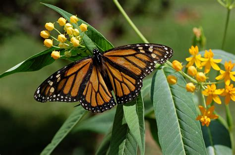 monarch butterfly file monarch butterfly danaus plexippus on milkweed hybrid