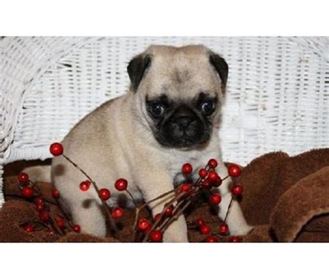pug breeders in indiana pug puppies for sale in indiana zoe fans baby animals for